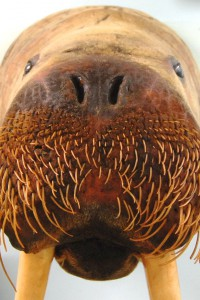 Walrus from Rear Adm. Donald MacMillan's collection at the Provincetown Museum, by David W. Dunlap (2012).